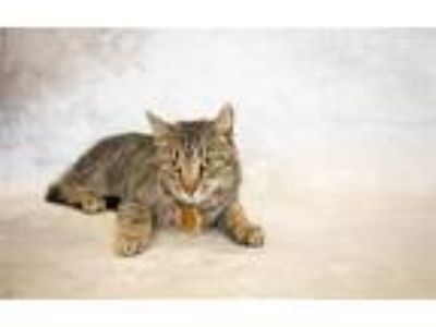 Adopt Pen 29 a Domestic Short Hair