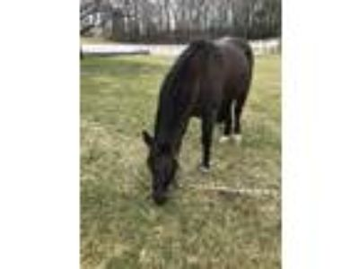 Welsh Pony Looking for a Good Home
