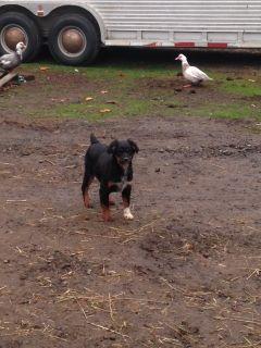 Miniature Australian Shepherd PUPPY FOR SALE ADN-109223 - Black Tri ASDR Aussie Female Pup