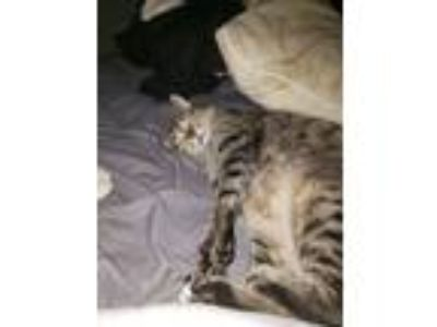 Adopt Max a Black (Mostly) American Shorthair / Mixed cat in Temple