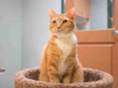 Adopt GINNYWEASLEY a Orange or Red Tabby Domestic Shorthair / Mixed (short coat)