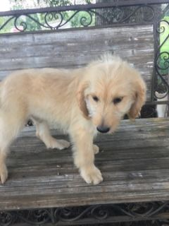 Goldendoodle PUPPY FOR SALE ADN-96243 - F2b GoldenDoodle Apricot Male