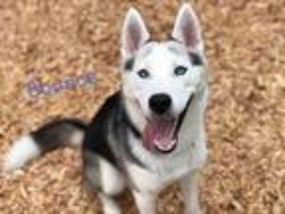 Adopt BOUNCE a Black - with White Husky / Mixed dog in Tacoma, WA (25876953)
