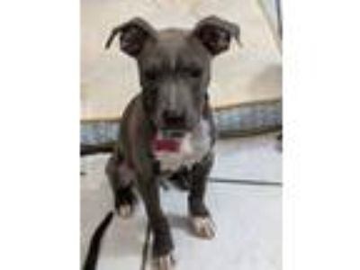 Adopt Jex Mix a Pit Bull Terrier