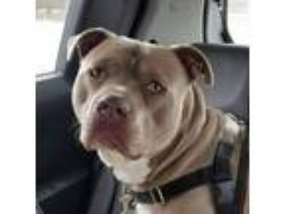 Adopt AC Lance - Foster Home Needed a Pit Bull Terrier