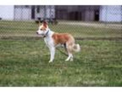 Adopt DIESEL - Paws Behind Bars a Tan/Yellow/Fawn - with White Border Collie /