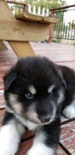 Alaskan Malamute PUPPY FOR SALE ADN-73498 - AKC registered Alaskan Malamute puppies