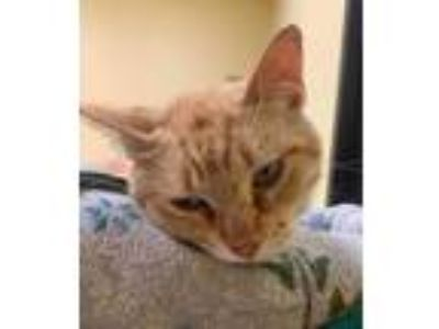 Adopt Festus a Orange or Red Domestic Shorthair / Domestic Shorthair / Mixed cat