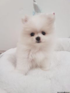Pomeranian female needs home