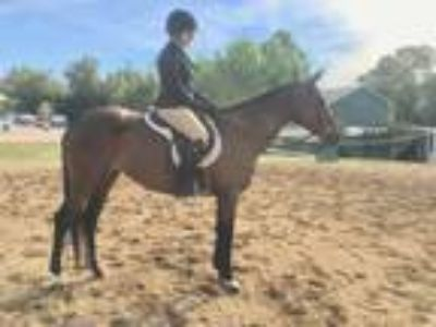 Flashy HunterEventerDressage Mare