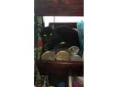 Adopt Raphael a Black (Mostly) Domestic Shorthair (short coat) cat in Tampa