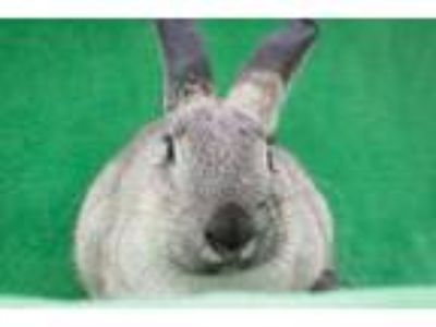Adopt Minnie Pearl a Grey/Silver Other/Unknown / Mixed (short coat) rabbit in