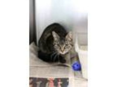 Adopt Angie a Tabby