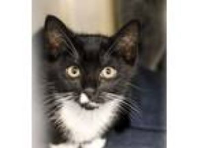 Adopt Archie (Meredith kitten 5) a Domestic Short Hair