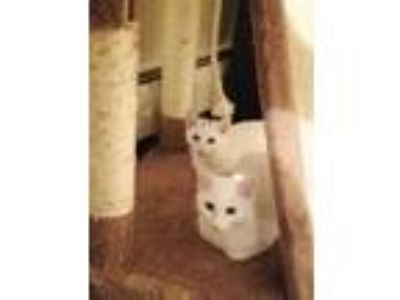 Adopt Cindy and Snowy a Tuxedo, Domestic Short Hair