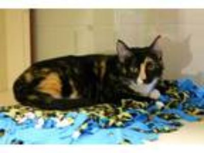 Adopt a Tortoiseshell Domestic Shorthair / Mixed (short coat) cat in Louisville