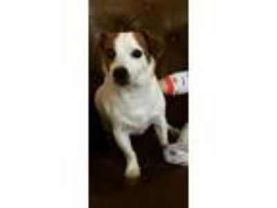 Adopt Rudy a White - with Brown or Chocolate Jack Russell Terrier / Mixed dog in