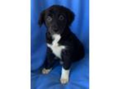 Adopt Splash a Australian Shepherd, Collie