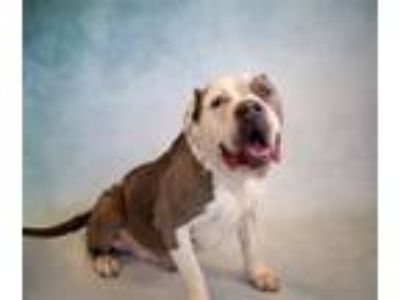 Adopt Pen 115 Beethoven a Pit Bull Terrier