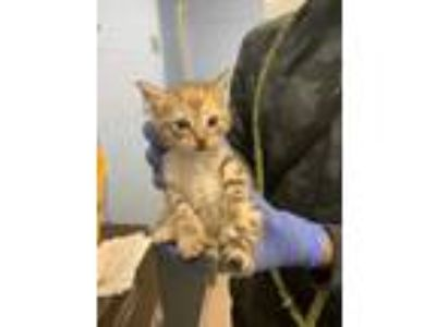 Adopt Turtle a Brown or Chocolate Domestic Shorthair / Domestic Shorthair /