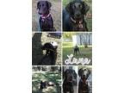 Adopt Luna a Black Labrador Retriever / Doberman Pinscher / Mixed dog in