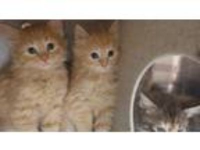 Adopt THING 2 a Orange or Red Tabby Domestic Shorthair / Mixed (short coat) cat