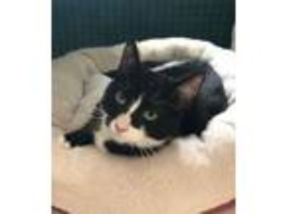 Adopt Pixie a Domestic Short Hair