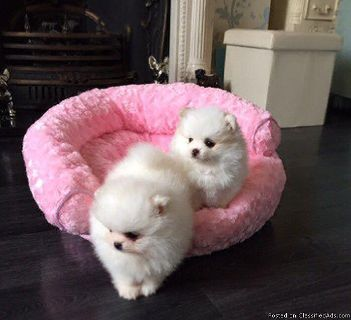 Lovely Pomeranian Puppies Are Available