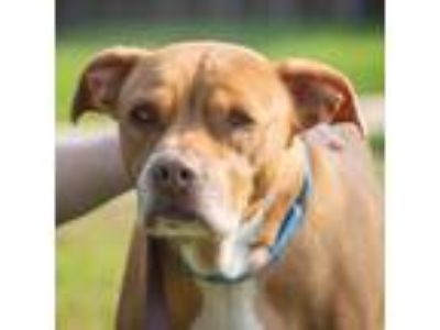 Adopt Telly a Tan/Yellow/Fawn American Pit Bull Terrier / Mixed dog in Ann