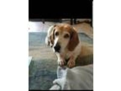 Adopt Suzy a Black - with Tan, Yellow or Fawn Basset Hound / Mixed dog in Tampa