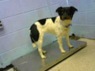 Adopt WILLOW a White - with Black Border Collie / Mixed dog in Atlanta