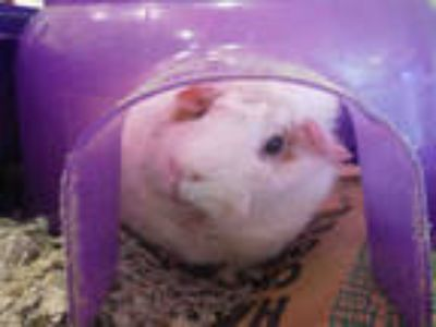 Adopt FLUFFY a Black Guinea Pig / Mixed small animal in San Jose, CA (25593171)
