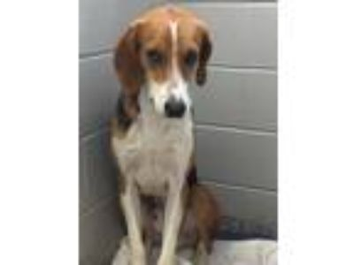 Adopt Buddy a Tan/Yellow/Fawn - with White Hound (Unknown Type) / Mixed dog in