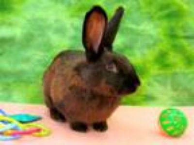 Adopt OPIE a Black Other/Unknown / Mixed rabbit in Martinez, CA (25557171)