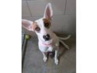 Adopt Tora a Staffordshire Bull Terrier / Australian Cattle Dog / Mixed dog in