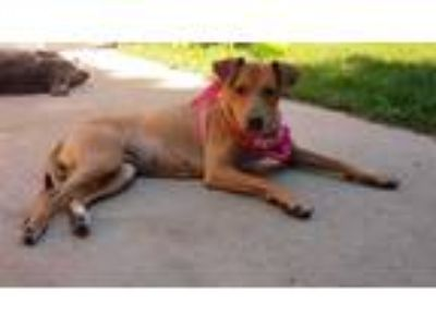 Adopt Khloe a Brown/Chocolate - with Black Labrador Retriever dog in Highlands