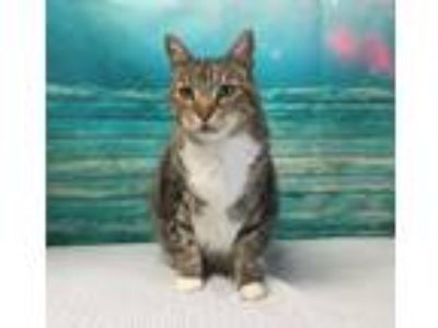 Adopt MALCOLM a Maine Coon, Domestic Short Hair