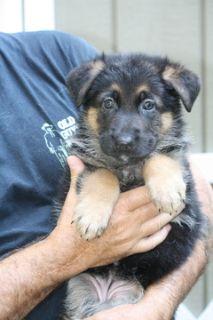 German Shepherd Dog PUPPY FOR SALE ADN-92883 - Oberon German Shepherd Dogs