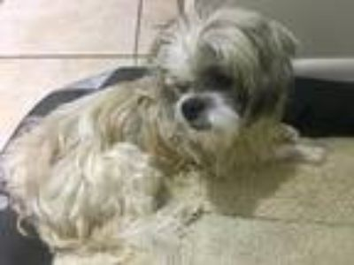 Adopt Kenney - Blind 14yo Shih Tzu a White - with Gray or Silver Shih Tzu /