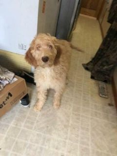 English Setter-Poodle (Standard) Mix PUPPY FOR SALE ADN-113420 - English Setter Doodle