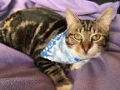 Adopt Jacob a Brown Tabby Domestic Shorthair (short coat) cat in Clinton