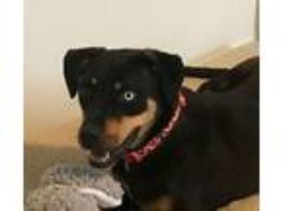 Adopt Annie a Black - with Tan, Yellow or Fawn Hound (Unknown Type) / Mixed dog