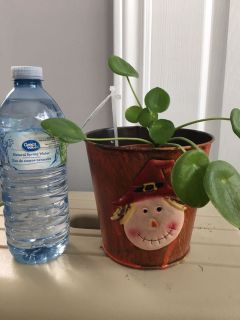 Pilea plant. Chinese money plant. 4 pot. Healthy and happy. Indirect sun. Trendy, popular indoor plant