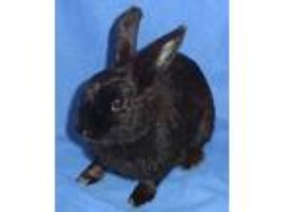 Adopt Sporty a Black Dwarf / Mixed rabbit in Woburn, MA (25653620)