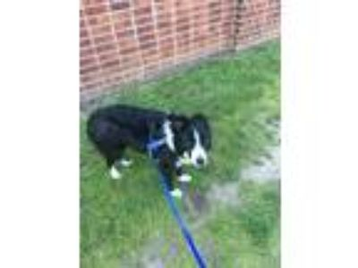 Adopt Ruby a Black - with White Border Collie dog in Union, NJ (25062963)