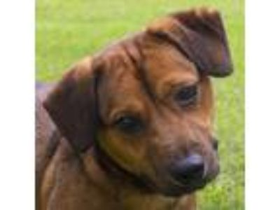 Adopt Tank a Brown/Chocolate Golden Retriever / Labrador Retriever / Mixed dog