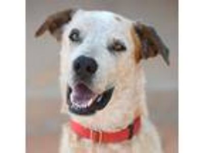 Adopt Fred a Cattle Dog