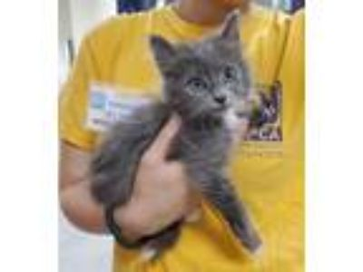 Adopt Newt a Domestic Medium Hair
