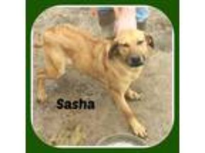Adopt SASHA a Cattle Dog, Treeing Walker Coonhound