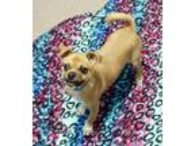 Adopt Serena a Tan/Yellow/Fawn Pug / Mixed dog in North Aurora, IL (25523341)